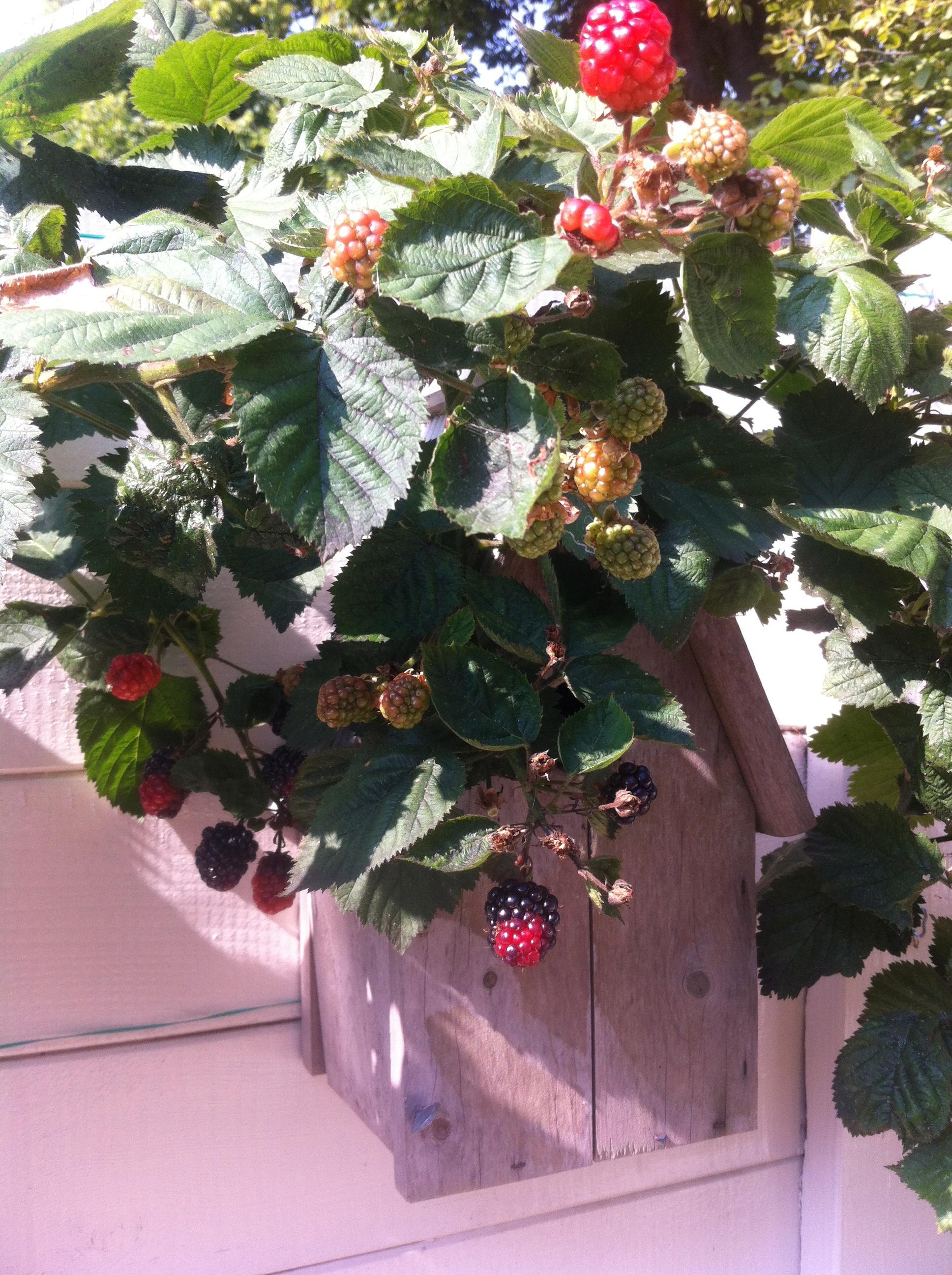 Homegrown blackberries | www.notafraidofbutter.nl