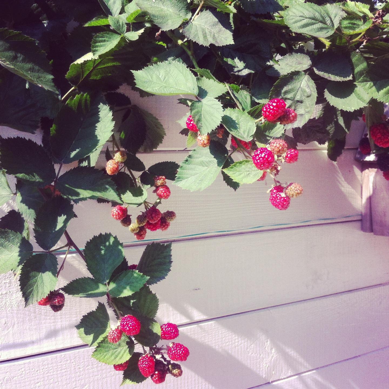 Homegrown blackberries   www.notafraidofbutter.nl